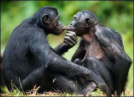 Sur le plan génétique, le bonobo est le singe le plus proche de l'homme. Les bonobos sont aussi connus pour résoudre leurs conflits d'une manière particulière. Laquelle est-ce ?
