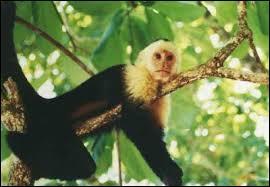 """Ce petit singe est le compagnon de """"Ace Ventura"""", le loufoque détective animalier interprété au cinéma par Jim Carrey. De quelle espèce est ce primate ?"""