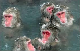 Ces macaques, à l'épaisse fourrure leur permettant de résister à de froides températures, ont l'habitude de se réchauffer dans des sources d'eau chaude présentes dans leur habitat. Où trouve-t-on ces singes ?