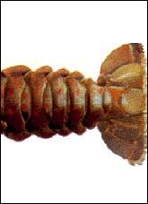 A quel crustacé appartient cet appendice caudal ? (Une bonne fricassée est à la portée de tous, pour peu qu'on se mouille un peu les pieds) ;-)
