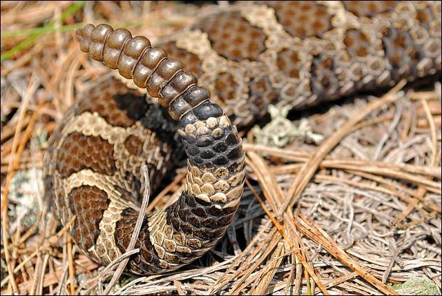 Voici la queue d'un serpent que beaucoup craignent de rencontrer et à juste raison.