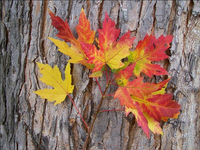 Avant de tomber, les feuilles se colorent en jaune, orange ou rouge. Pourquoi ?