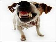 Lui, au contraire a un comportement ----- , selon le sens étymologique du terme : il montre les dents.