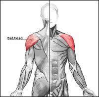 Le deltoïde est un muscle de l'épaule qui s'insère sur plusieurs os et qui permet la plupart des mouvements du membre supérieur. Lequel de ces mouvements du membre supérieur n'est pas permis par le deltoïde ?