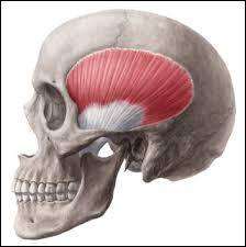 Le muscle temporal est un muscle du crâne qui, comme son nom l'indique, prend son origine sur l'os temporal. Quelle est la fonction de ce muscle ?