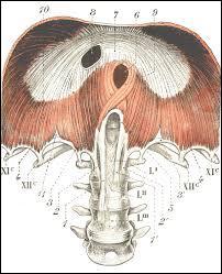 Le diaphragme thoraco-abdominal est le principal muscle respiratoire de l'organisme et sert de délimitation entre les régions thoracique et abdominale. Où le nerf phrénique, qui le commande, prend-il ses origines ?
