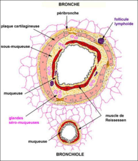 Le muscle de Reissessen se trouve au niveau de l'arbre respiratoire, entourant la lumière de ce dernier. Quelle est la nature de ce muscle ?