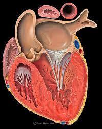 On a tendance à ne pas y penser mais le cœur est avant tout un muscle. Lequel de ces adjectifs ne définit pas le muscle cardiaque ?
