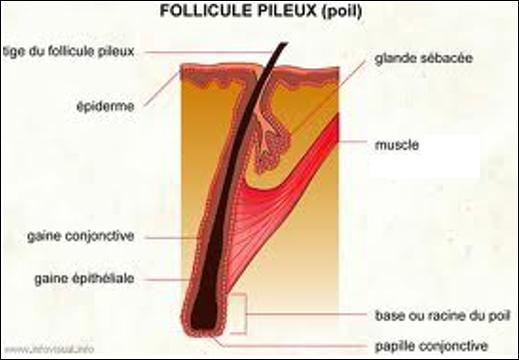 Même les poils ont droit à leur muscle, ce dernier fait partie intégrante du follicule pileux et permet de redresser le poil. Quel est le nom de ce muscle ?