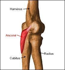L'anconé est un petit muscle du membre supérieur s'insérant sur le radius et le cubitus. Quel est sont rôle ?