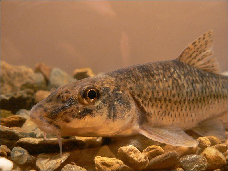 Ce petit poisson est délicieux en friture, c'est bien entendu :
