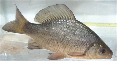 Et ce poisson est bien sûr :