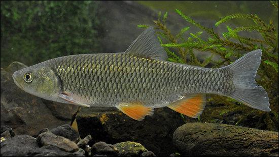 Ce poisson ne se rencontre pas dans le Nord-Pas-de-Calais, le Finistère et la Corse, c'est bien entendu :