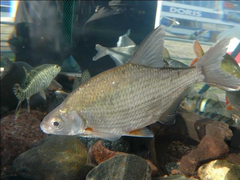 Et ce poisson est sans le moindre doute :