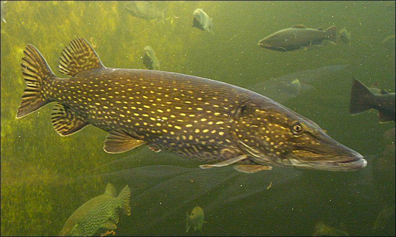 Ce poisson très recherché est un carnassier, c'est le :