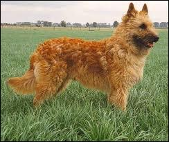 De quelle ancienne ville belge ce chien porte-t-il le nom ?