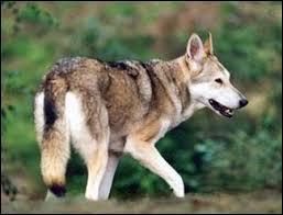 La race de ce chien fut fixée en 1975, il tient son nom de l'inventeur.