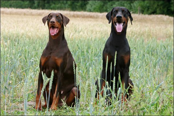 De qui, le  Dobermann , ce grand chien résultant de croisements dont on ne connaît que très mal les composants, tient-il son nom ?