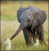 """Si je vous dit """"éléphants"""", vous me dites..."""