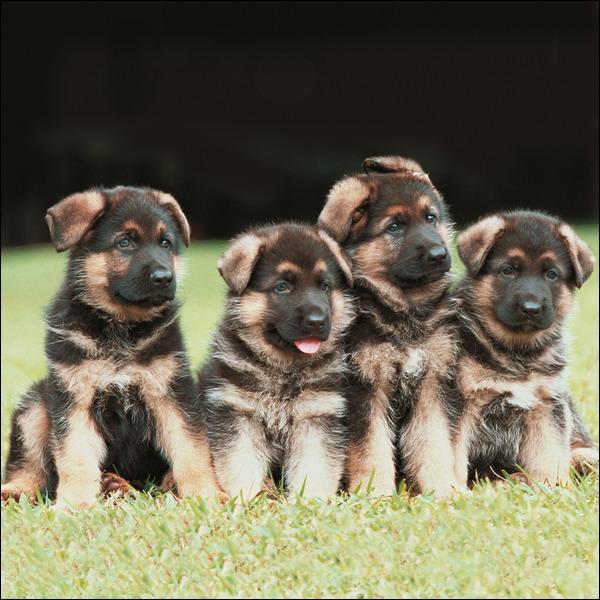 Lassie a des petits chiots