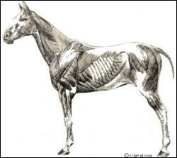 Comment s'appelle le muscle de la machoire?