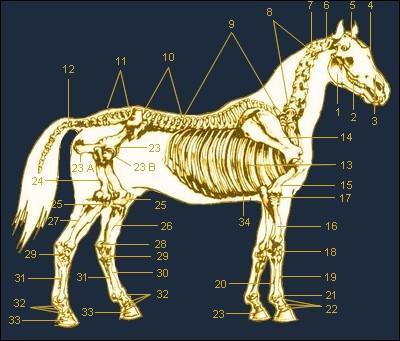Comment s'appelle l'os que le cheval a au jarret?