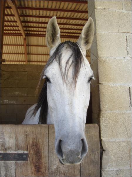 Pour monter un jeune cheval, il faut attendre que....
