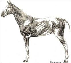 Les parties, les os, et les muscles du cheval