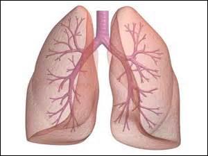 Cet organe est composé de deux poches contenant les bronches, les bronchioles ainsi que les alvéoles. Il assure l'échange de gaz entre le dioxygène et le dioxyde de carbone avec le sang. Il joue un peu le rôle de filtre. De quel organe s'agit-il ?
