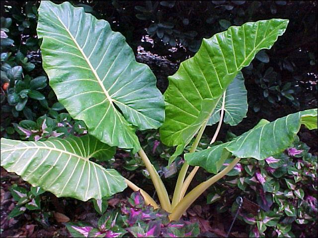 Le nom commun de l'Alocasia macrorrhiza est :