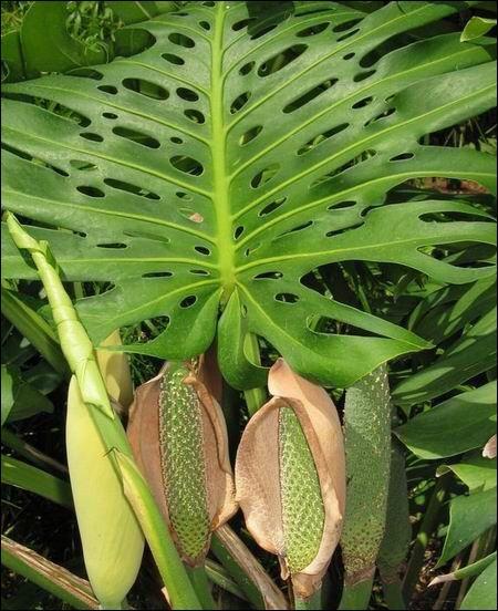 Connaissez-vous le nom botanique de Monstera ?