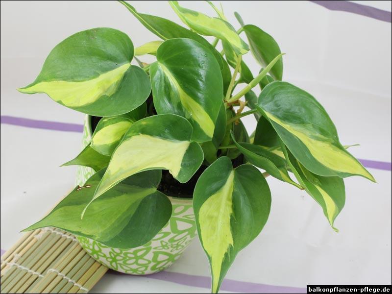 Le nom botanique de cette plante est :
