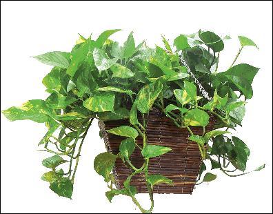Quel est le nom botanique de celle-là ?