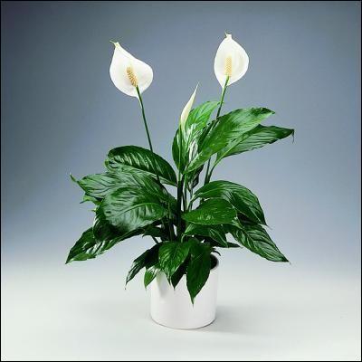 Pouvez-vous identifier cette plante ?