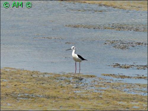 Oiseau à longues pattes roses et long bec fin et noir. Il est surtout blanc avec une calotte et un dos sombre. Les adultes mesurent entre 33 à 36 centimètres de long. Ses longues pattes roses lui permettent de patauger en eau profonde, tout en recueillant sa nourriture en surface.