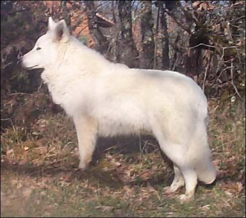 En quelle année a été importé le premier berger blanc suisse en suisse ?