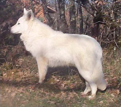 Les bergers blancs suisses