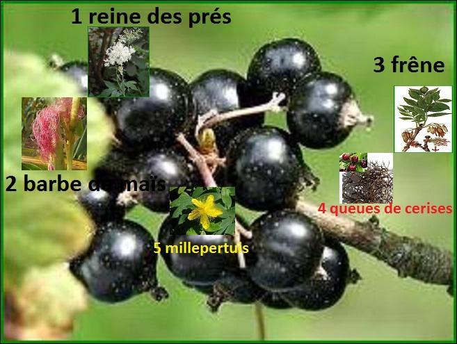 Quelle plante ne mettrez-vous pas dans votre mélange de tisane diurétique ?
