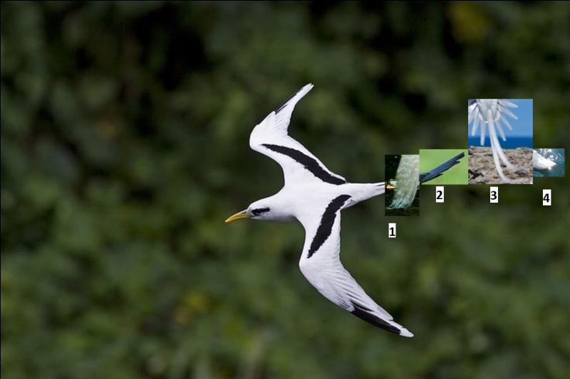 Le phaéton à bec jaune est l'un des oiseaux de mer les plus remarquables de l'île de La Réunion. Quelle est la queue qui lui appartient ?