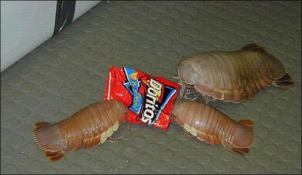 Si, si, ce sont des crustacés ! Laissons-les se remplir la panse en attendant que vous me donniez le nom de leur espèce :