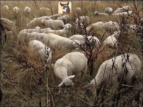 Animaux. Qui semble surveiller les moutons ?