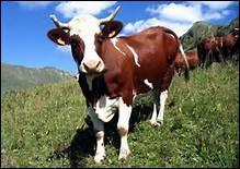 Dans quel pays la vache est-elle sacrée ?