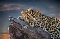 Le guépard est différent des autres félins. Pourquoi ?