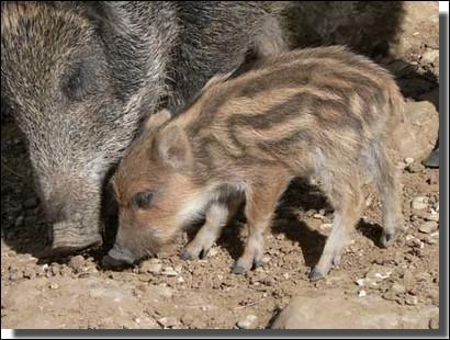 Il existe un vocabulaire très riche pour parler du sanglier. Voici quelques termes : Marcassin (0-6 mois)Bête rousse (6-12 mois)Bête de compagnie (12-24 mois)Ragot (mâle) et ... ragote (femelle) (2-3 ans)Tiers an (mâle) et ... (femelle) (3-4 ans)Puis : quartanier, vieux sanglier et grand vieux sanglier (pour le mâle).