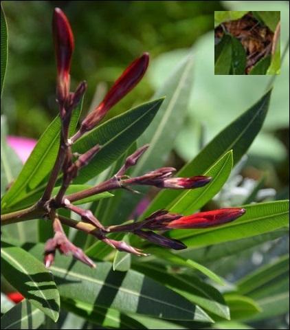 Il faut que la pollinisation se fasse par les insectes pour que le --------- se reproduise. Est-ce vrai ?