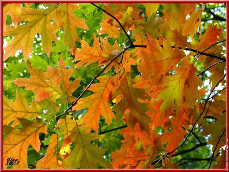 A quel arbre appartiennent ces feuilles d'automne ?