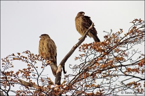 """Qui chantait """" Au retour de l'automne feras-tu comme l'oiseau qui s'envole et s'étonne de me voir de si haut , restera-t-il encore un peu de notre amour ?"""""""