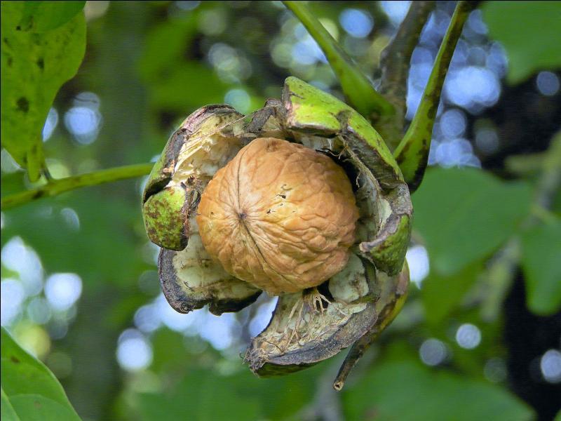 On la cueille à l'automne, c'est la noix ! De quelle ville est-elle la spécialité ?