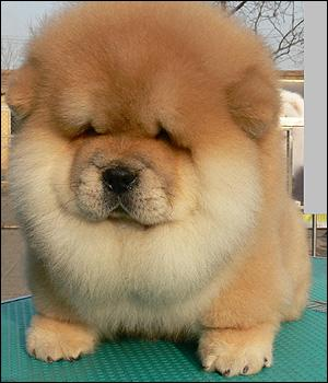 Quelle est la race de ce chien plutôt poilu ?