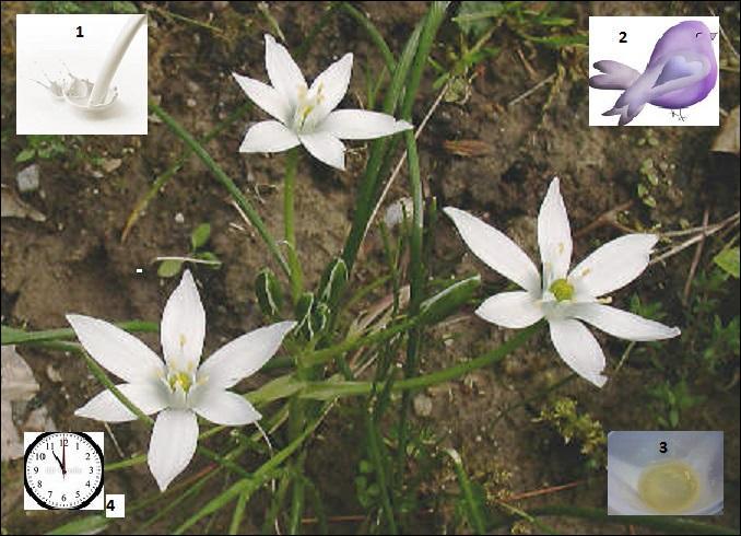Jolie fleur blanche en forme d'étoile dite de Bethléem, de la famille des Liliaceae, qui ne s'ouvre qu'en fin de matinée. Quel autre nom porte-t-elle ?